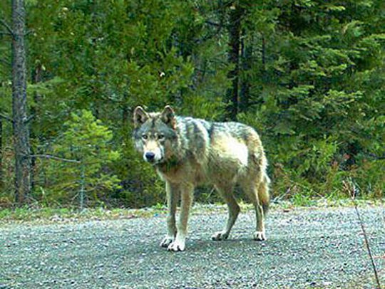 This picture from Fish and Wildlife shows a gray wolf spotted in Southern Oregon.