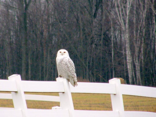Melissa Mathurin took a photo of a snowy owl perched