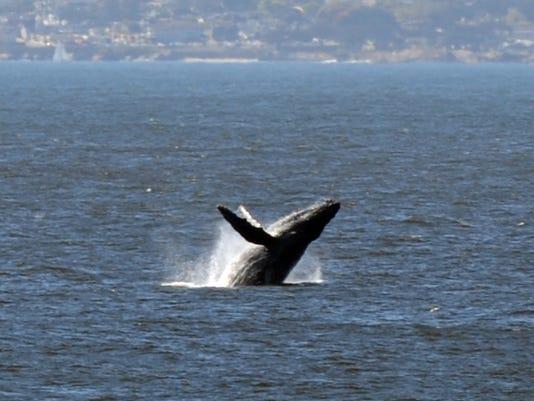 635877741594136223-SNABrd-10-24-2015-Californian-1-A002-2015-10-23-IMG-IMG--131005-jd-whale-1-1-S4CBCMM5-L698045005-IMG-IMG--131005-jd-whale-1-1-S4CBCMM5.jpg