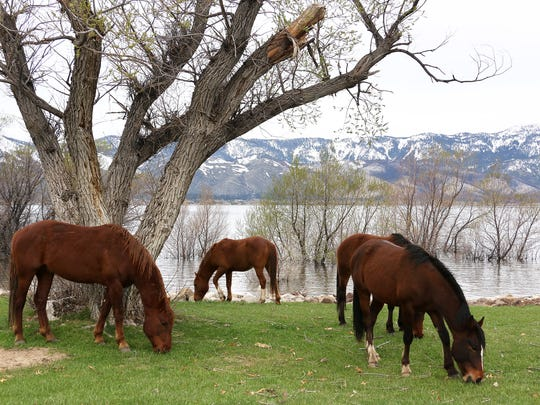 Wild horses are seen grazing next to Washoe Lake just south of Reno on April 5, 2017.