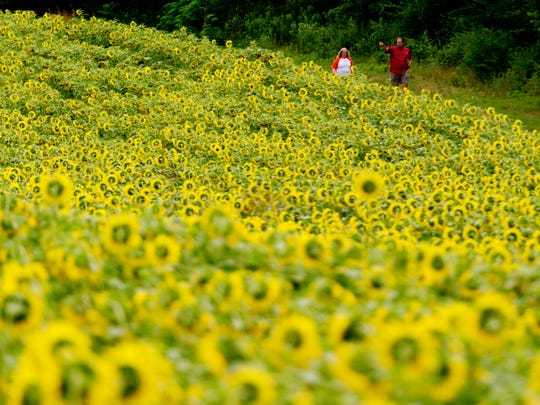 Visitors walk through the sunflower fields at Forks of the River Wildlife Preserve in Knoxville on Friday, July 7, 2017. The 70 acres of sunflowers draw thousands of visitors each year and provide food for several species of animals.