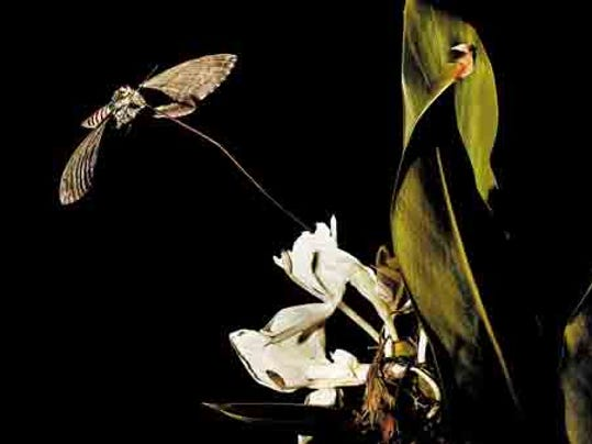 Sphinx moths unroll their slender feeding tube right into the center of a long-necked flower and suck away at the nectar as if the tube were a straw. (L. Todd spencer | The Virginian-Pilot)