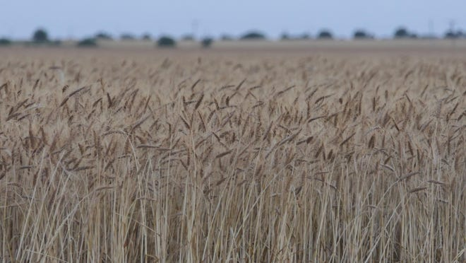 Wheat, just before harvest, in Sedgwick, County, Kansas, June 19, 2020.
