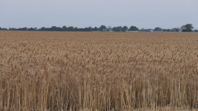 A wheat field basks in the sun June 18 in Sedgwick County.
