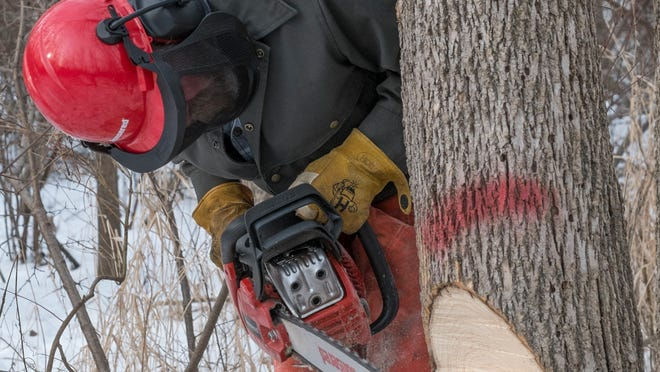 Charles Oslund a chainsaw safety trainer, cuts a notch in a tree Saturday at the Michigan United Conservation Club.