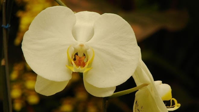 The Red River Orchid Society meets Sunday at the Kemp Center.