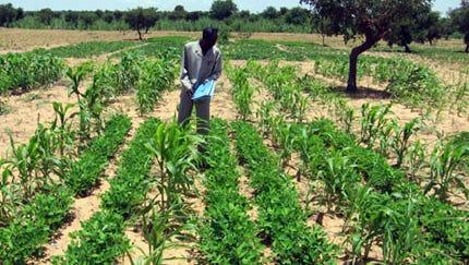 Intercropping of sorghum and groundnut with three rows of groundnut between every two rows of sorghum in the Sahel of West Africa. Growing two crops together results in higher productivity compared with producing sole crops with less chance of complete crop failure.