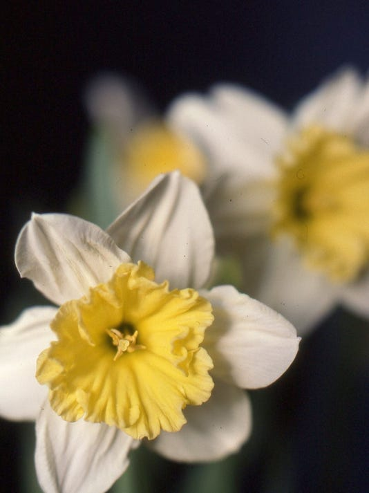 poffenbaugh ice follies daffodils.jpg