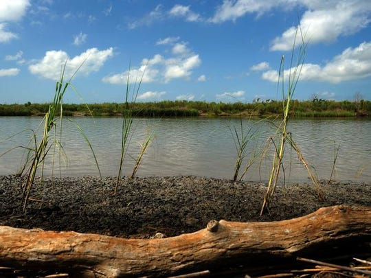 Oyster grass was planted along the canals in Rockefeller Refuge to prevent coastal erosion from boat waves.