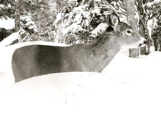 White-tailed deer, like the one shown above, face low life expectancies in state like Vermont, where winters can be harsh and hunting helps control deer numbers.