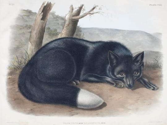 """The  """"American Black or Silver Fox"""" by John Woodhouse Audubon. The work of John James Audubon and his sons was featured in a recent near St. Louis."""