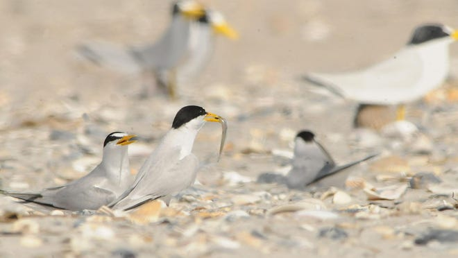 Least terns take care of their newly born chicks at Wrightsville Beach, North Carolina.