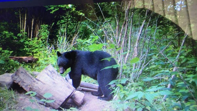 A bear coming to check out the bait in central Wisconsin