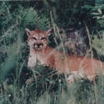 Outdoors: Reports of cougars in Lower Peninsula are nothing new