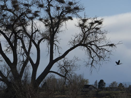 A heronry can be seen on the west side of Interstate 25 just south of Harmony Road. The tree contains about 20 heron nests and is on private property.