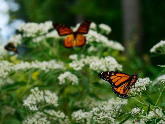 Monarch butterflies land on wildflowers along the Turkey