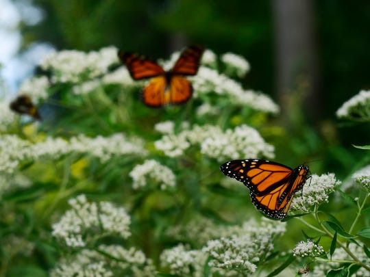 Monarch butterflies land on wildflowers along the Turkey Hill Trail in Manor Township, Lancaster County Wednesday, September 21, 2016.