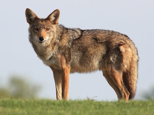 There have been several reports of coyote encounters in the city limits of Henderson and several pets have been killed. A trapping program is underway in Balmoral Acres.