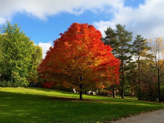 Offering spectacular fall color, the sugar maple is