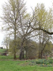 Some of the trees that are part of the GreerCrest Orchard that has been given to the Oregon Heritage Tree designation.
