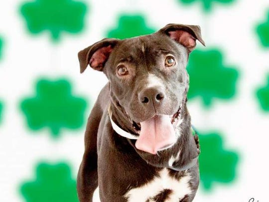 Shamrock - Female (spayed) pitbull mix, about 3 years