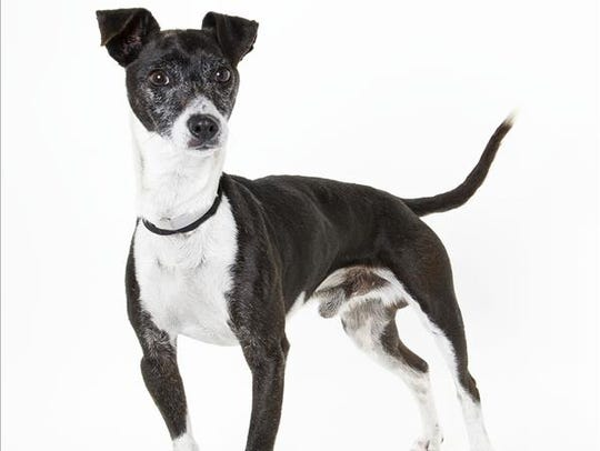 Skippy, 5-year-old male Chihuahua/terrier mix. No.