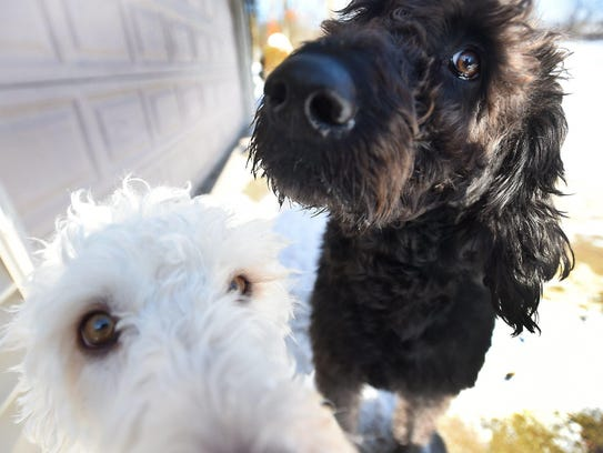 Labradoodles Eva, bottom, and Adam owned by Susan and