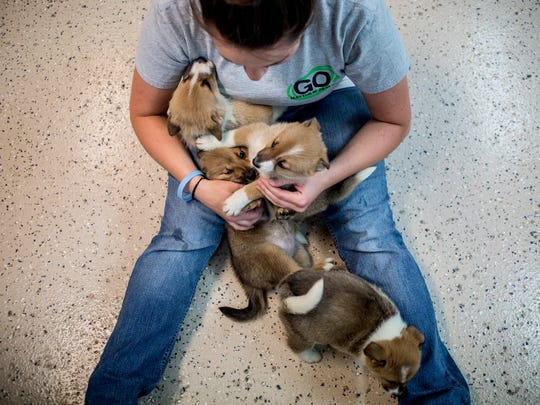 Volunteer Sarah Kongabel, 24, of Marine City, plays with a lap full of puppies Thursday, June 16, 2016 at the Humane Society of St. Clair County SNAP in China Township. The nine Norwegian buhund puppies were surrendered to SNAP after 98 dogs were seized from a Cottrellville Township home. The puppies have been placed in foster homes before they are put up for adoption.