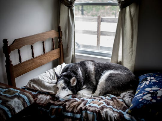 Bradley Moore's dog, Lincoln, rests on Bradley's bed in the bedroom of his parents' Clyde Township home. Since Bradley's passing in January 2014, Lincoln often sleeps and rests in his bedroom.
