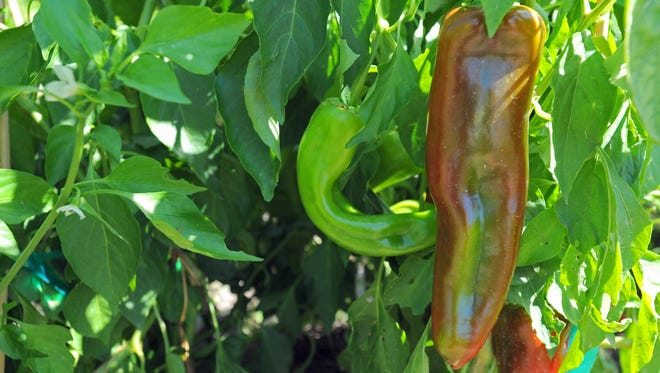Luna County Chile farmers have an opportunity to reach out beyond county lines to promote locally-grown crops.