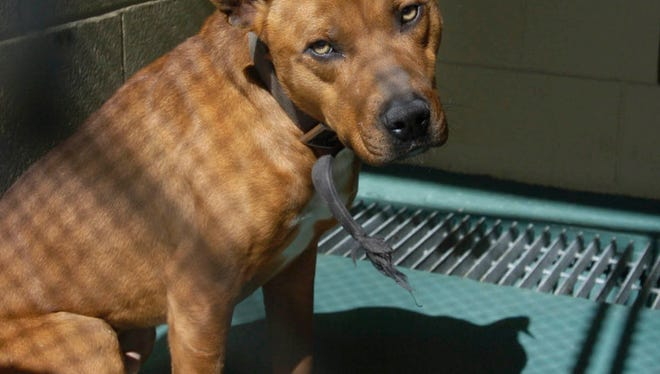 A pit bull dog suspected of mauling to death five-year-old Anataisa Bingham of Terry is seen in 2010.