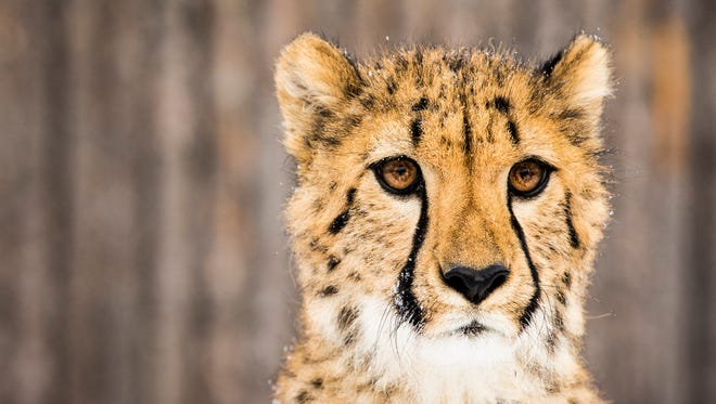 Donni the cheetah cub experiences snow for the first time in the Cheetah Encounter yard at the Cincinnati Zoo & Botanical Garden Friday, January 6, 2016.