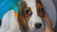 The 10 basset hound puppies rescued from a Douglas County breeder were all very thin to emaciated, Humane Society of Missouri officials said.