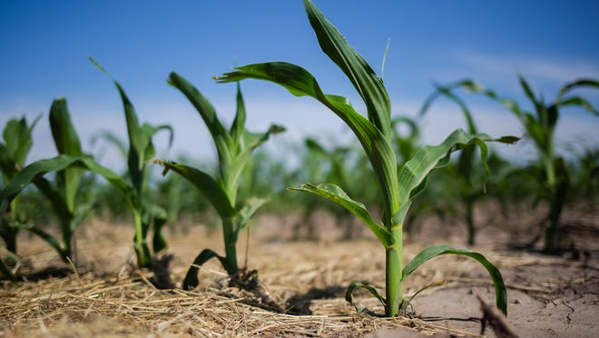 Corn plants have emerged across much of central Illinois as weather conditions for this year's planting season were much more favorable compared to 2019 The corn planting progress as of May 31 was 92 percent compared to only 42 percent last year according to the USDA's latest crop progress report.