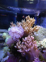 Soft coral in an aquarium by Aquaholics Aquarium Services.