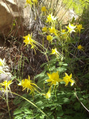 Yellow columbine bloom in profusion at Oliver Lee Memorial State Park.