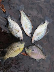 Bluegill and crappie — and maybe a catfish — might