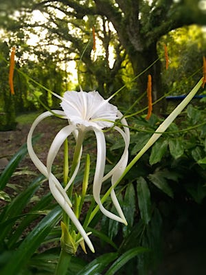 Our flora is another favorite of mine. This is a native Florida spider lily.