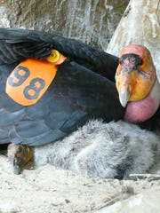 A California condor protects its chick in a nest cave