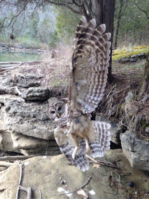 A barred owl caught in fishing line is spotted at Cordell Hull State Park near Carthage, Tenn.