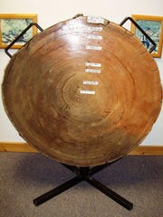 The biggest tree pulled from Flathead Lake was stamped with a harvest date of 1924. The timber mill cut slabs off of it and were able to count the growth rings, estimating the tree's life began in 1534.