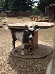 A pygmy goat scratches his back and rubs his horns