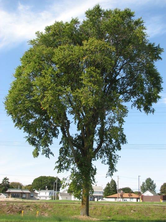 636446296433742024-HFM-Elm-Tree.JPG