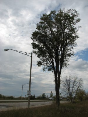 This solitary large elm near the Schwartz Mfg. Co. in Two Rivers was planted by the Burns Post of the American Legion in 1928.