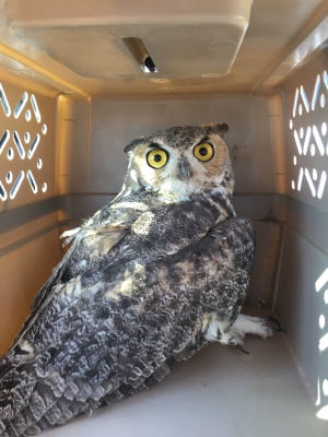 The great horned owl, months after it was first found.