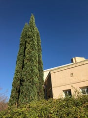 The branches of Italian cypress are popular for wreaths
