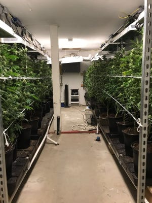 Officials said they seized more than 1,400 marijuana plants during an arrest of three men accused of running an illegal marijuana growing operation.