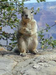 Squirrels at the South Rim of the Grand Canyon have