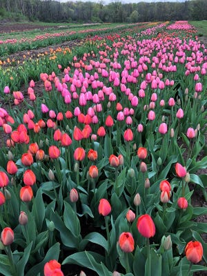 A beautiful field of tulips blooming at North Star Orchards in Westmoreland.