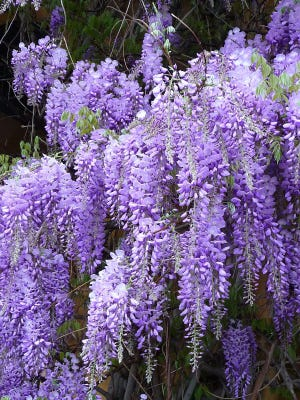 It often takes two to three years for a wisteria to bloom.